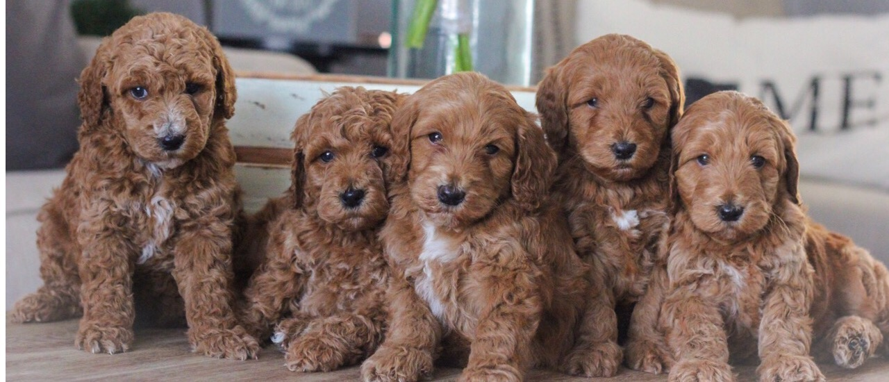 Goldendoodle Puppies For Sale Delaware Ohio Hillsborough Nc